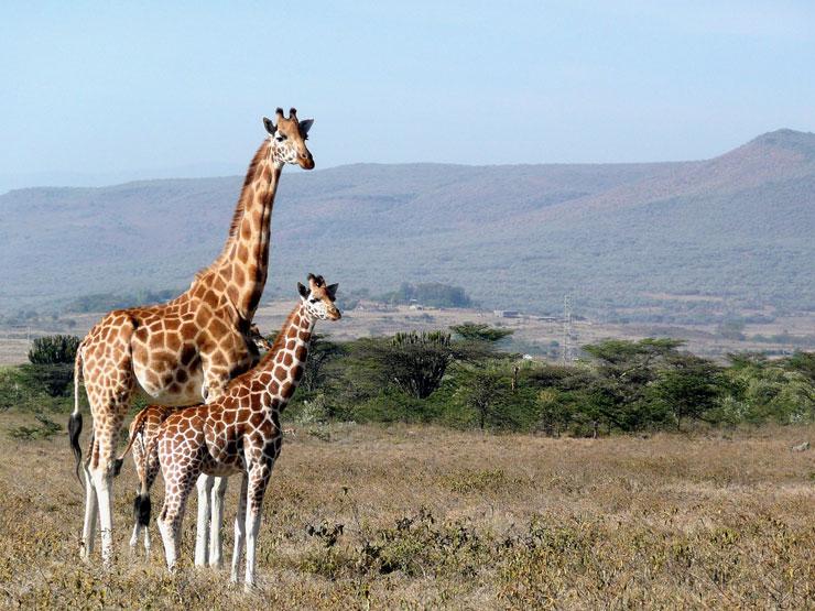 The Giraffes in Kenya